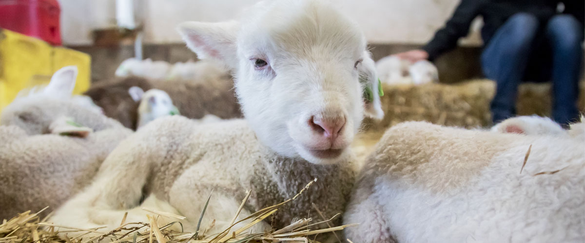 A baby lamb lays down in hay.