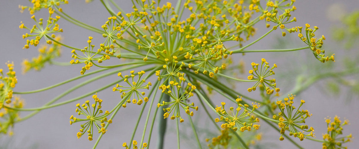 A cluster of small yellow dill flowers protruding from a common stem.
