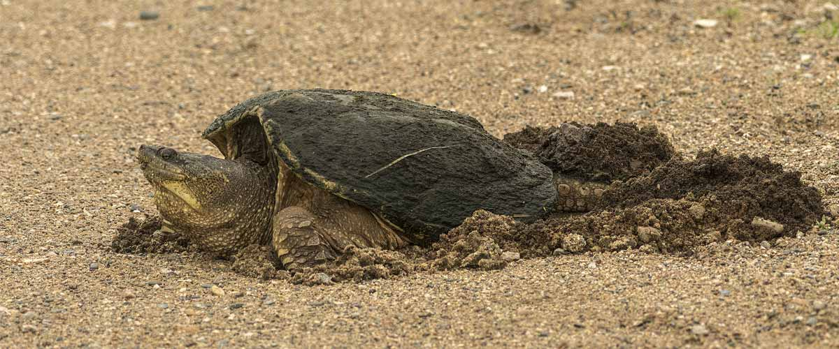 A large snapping turtle digs in the sand.