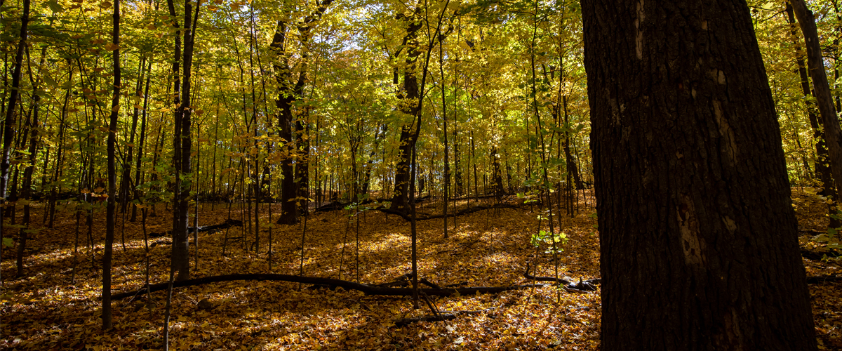 A shaded forest floor is covered in orange and gold leaves in the fall.