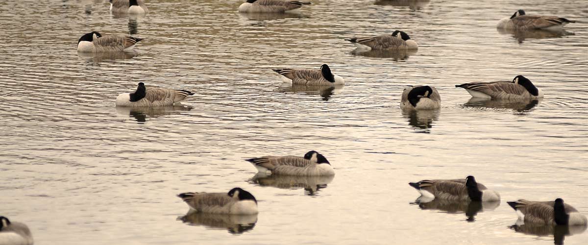 Several geese float in the waters of a lake.