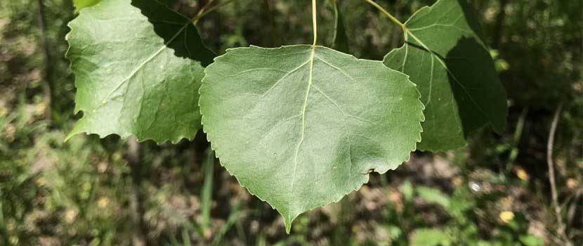 Three triangular cottonwood leaves.