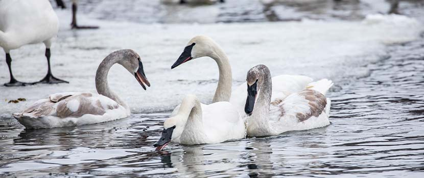three trumpeter swans swimming