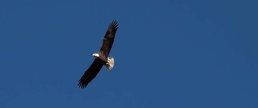 A bald eagle soars across a blue sky.