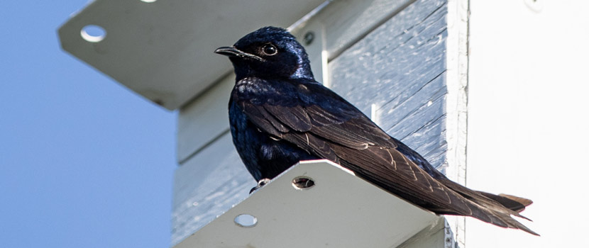 A purple martin sits on the ledge of a white martin house.