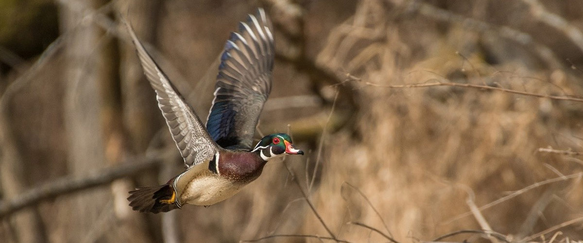 A wood duck flies in front of a grassy area.