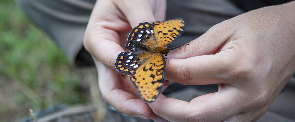 A black and orange butterfly with white speckles rests on human hands.