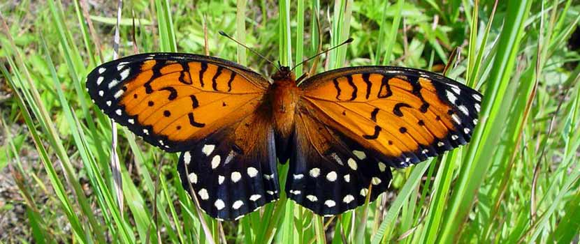 A large orange and black butterfly - a regal fritillary - rests with its wings spread on grass.