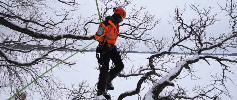 A man uses a rope and harness stands on a tree branch for tree pruning.
