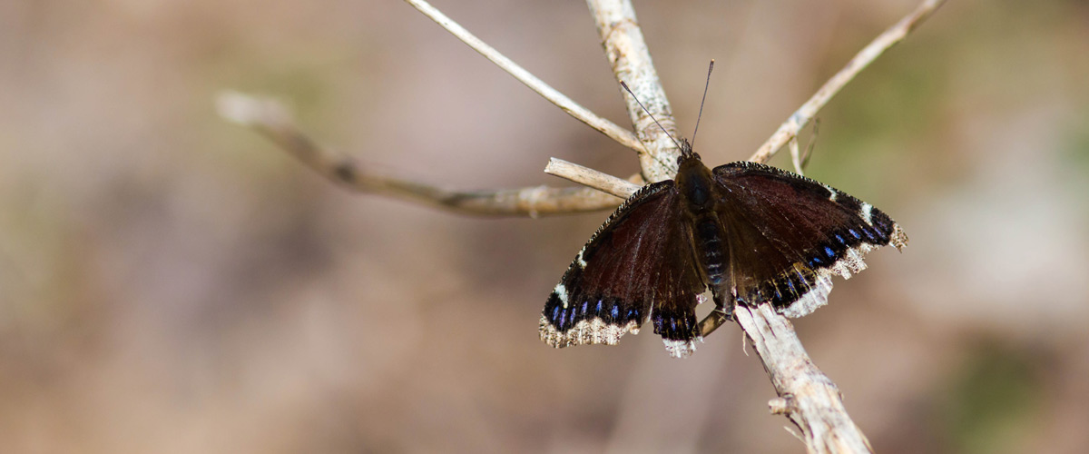 A mourning cloak butterfly rests on a branch.