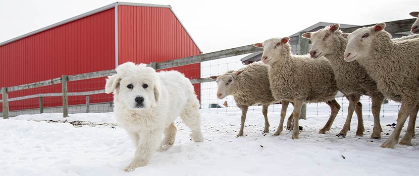 a white Great Pyrenees Dog in the snow with a fence and red barn behind it and Finn sheep off to the side at Gale Woods Farm in Minnetrista, Minnesota