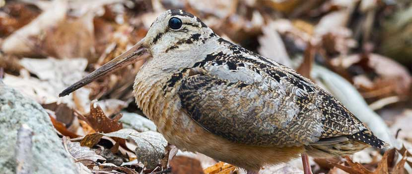 An american woodcock stands on the ground among fallen leaves.
