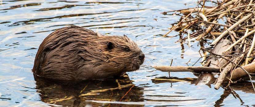 A beaver sits in the water next to a pile of sticks.