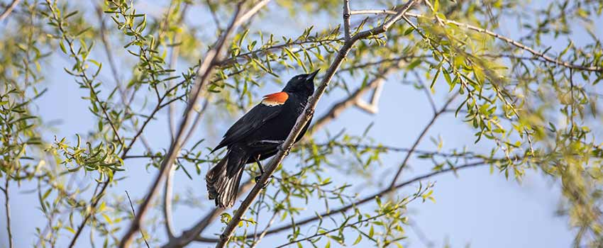 Red-winged blackbird sitting in a budding tree.