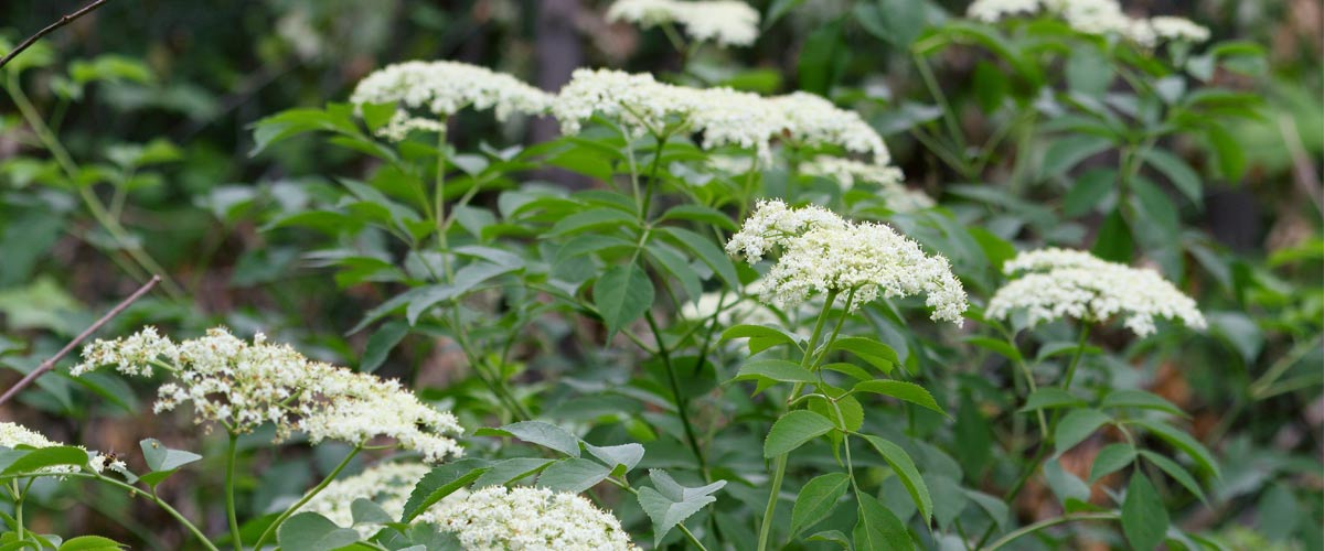 Common elderberry blooms in clusters of small white flowers.