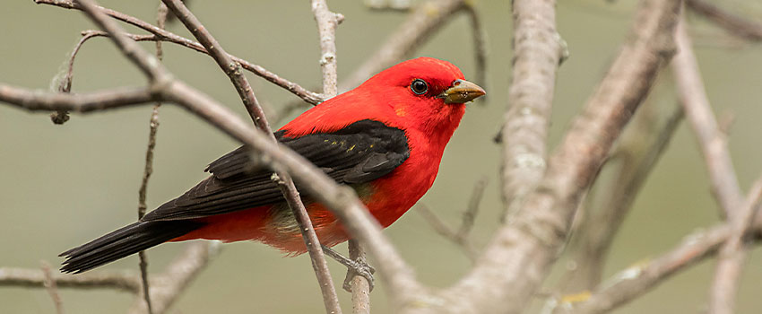 Scarlet tanager sitting on bare branch in Minnesota.