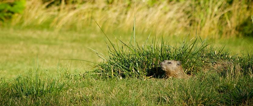 A groundhog peeks its head out of it's hole in a grassy area.