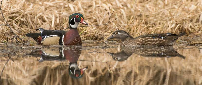 A pair of wood ducks floats on a lake.