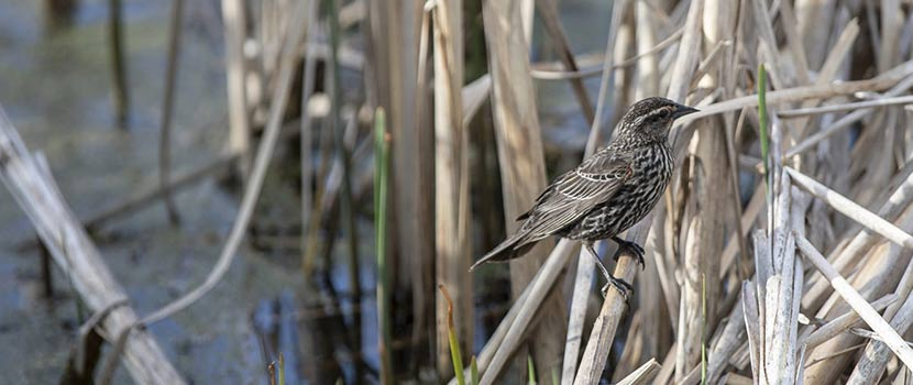 A female redwing blackbird perches on a reed in the lagoon at French Regional Park.