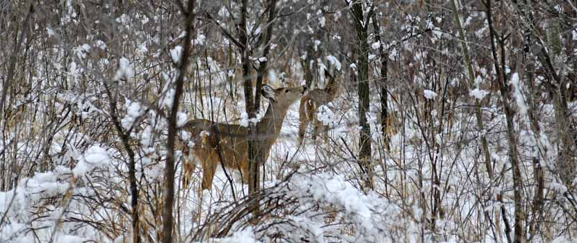 A deer browses in the forest in winter.