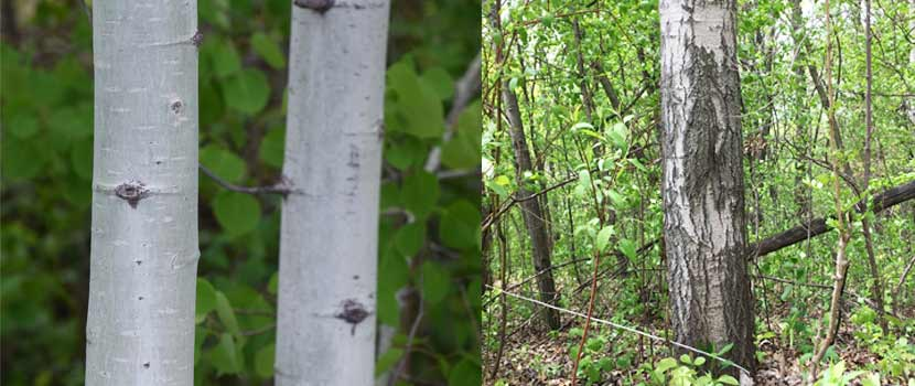 side-by-side images. On the left are two tree trunks that are smooth and light grayish green. On the right is one tree trunk that is gray with dark ridges toward the base.
