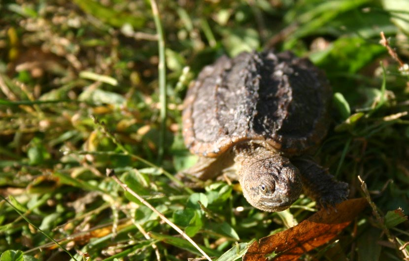 A baby snapping turtle in the grass.