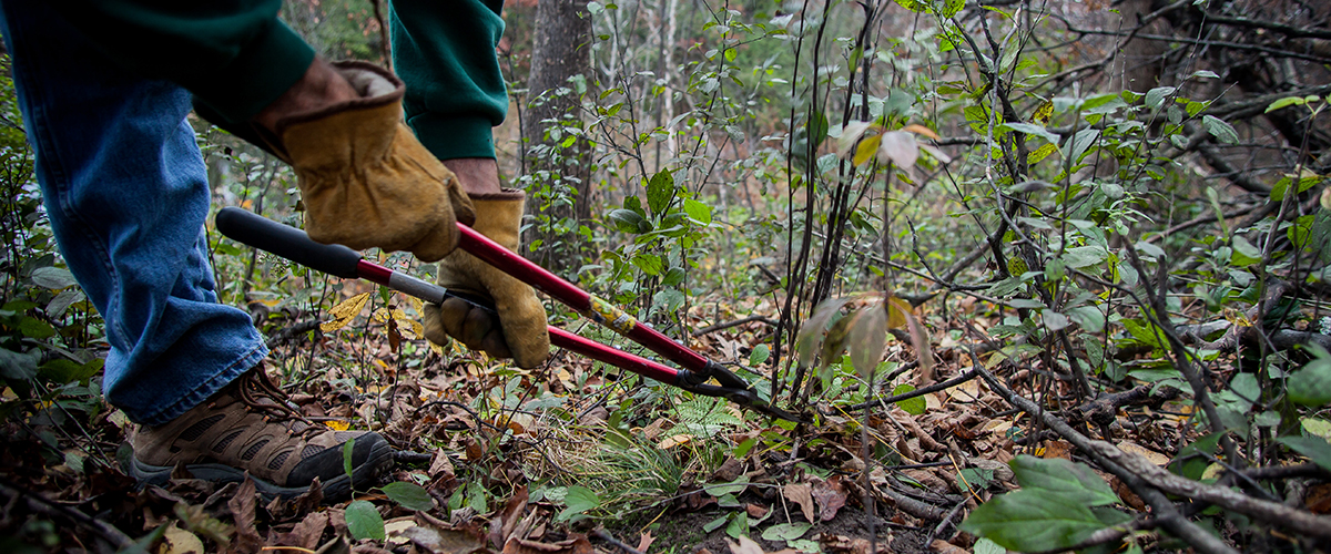 A man cuts an invasive plant with clippers
