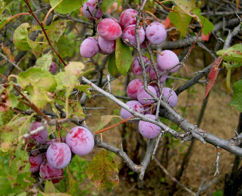 A cluster of purple plums hangs from the branch of an American plum tree.