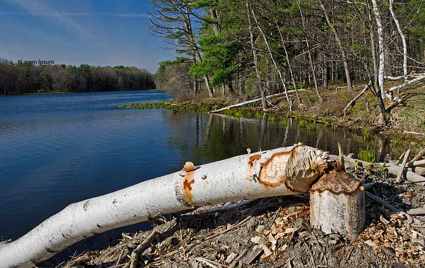 A birch tree on the edge of a lake has fallen over because of a beaver.