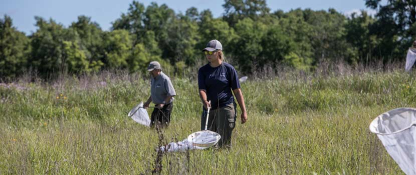 Three Rivers employees walk through the prairie with nets, looking for regal fritillary butterflies.