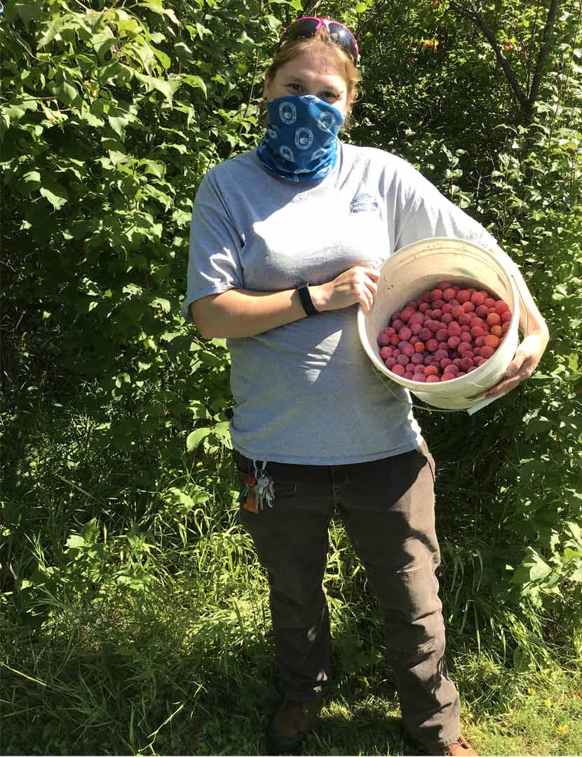 A Three Rivers employee collects American plums in a bucket for propagation.
