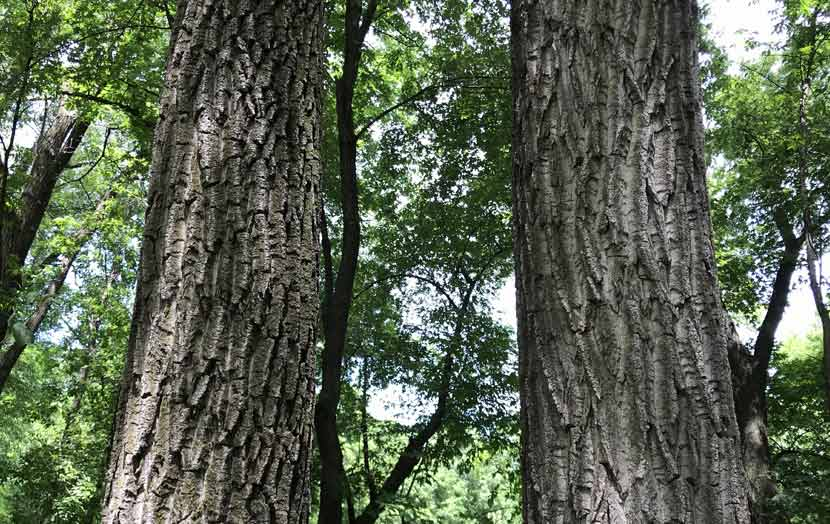 Two mature cottonwood trees stand next to each other. Their bark is dark colored with many ridges.