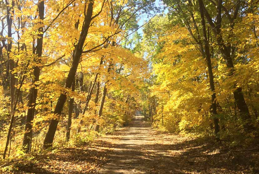 A trail cuts through a golden maple forest in the fall.