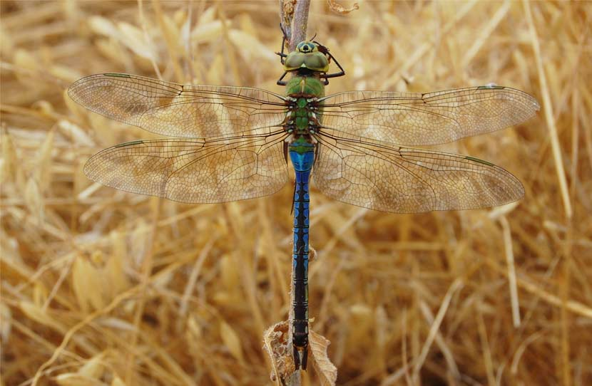 A green darner dragonfly rests on a dried piece of grass.