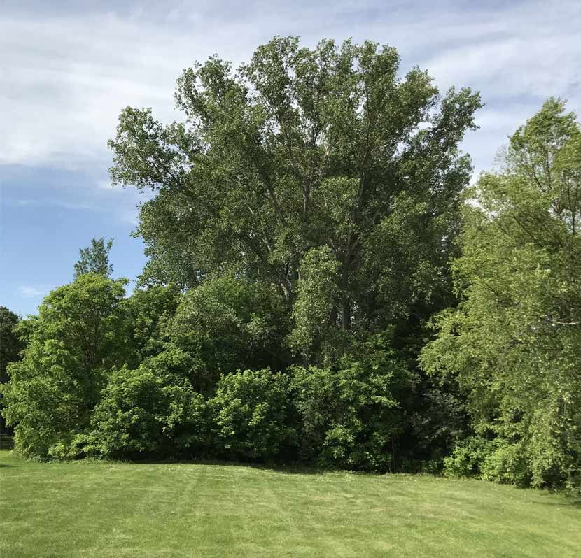A cottonwood tree towers over other surrounding trees in a park.