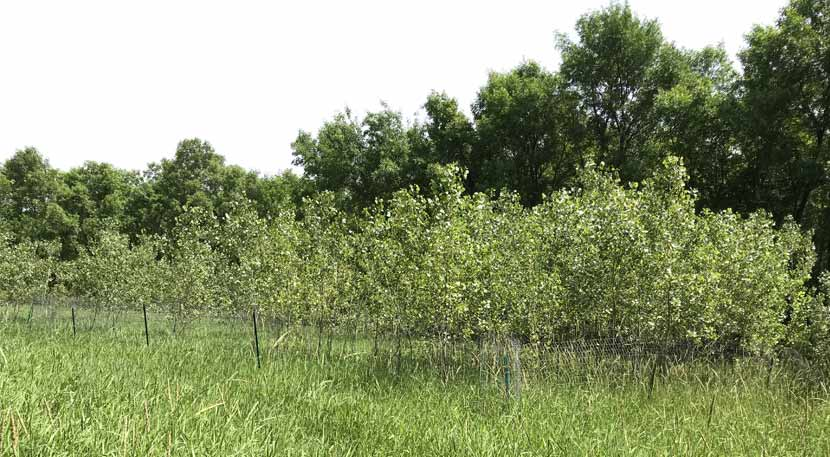 A stand of small cottonwood trees were planted in a park along the Mississippi River.