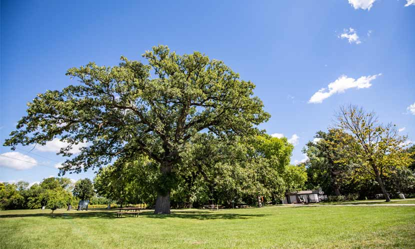 A huge oak tree towers over a picnic area on a sunny summer day.