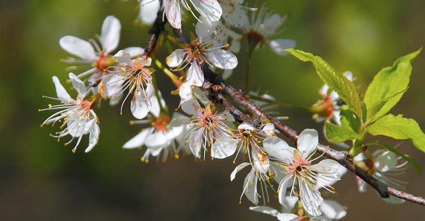 Clusters of white flowers grow from dark twigs on an American plum tree.