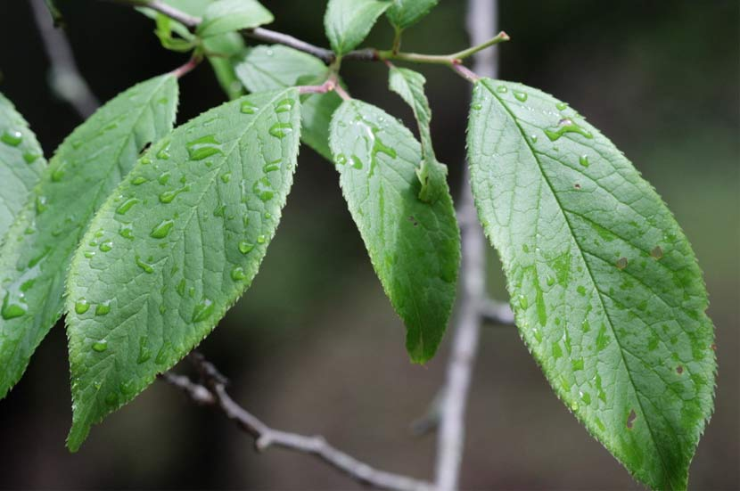 Long, fine-toothed leaves of an American plum tree are wet after a rain.
