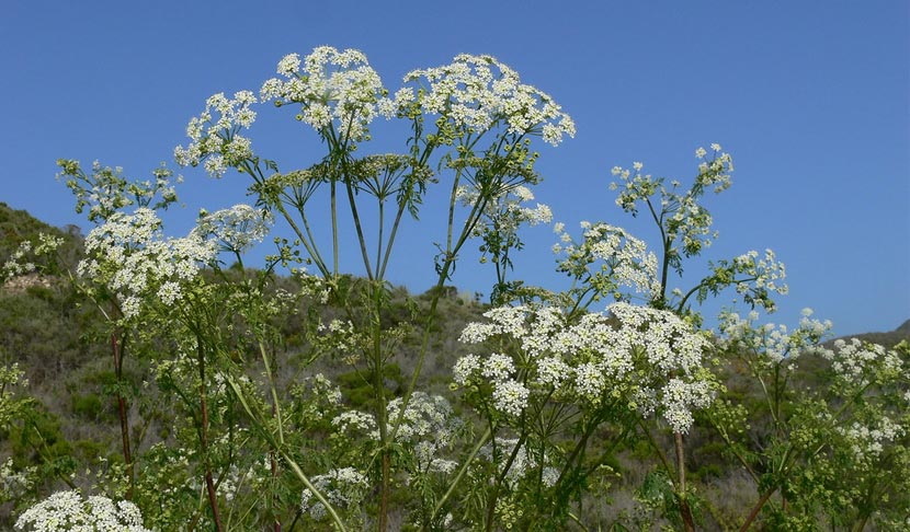White clusters of flowers grow on a poison hemlock plant.