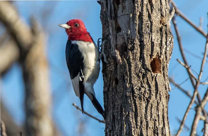 A red-headed woodpecker clings to the side of a tree.
