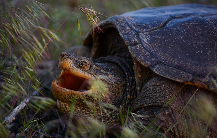 A snapping turtle sits in the grass with its mouth open.