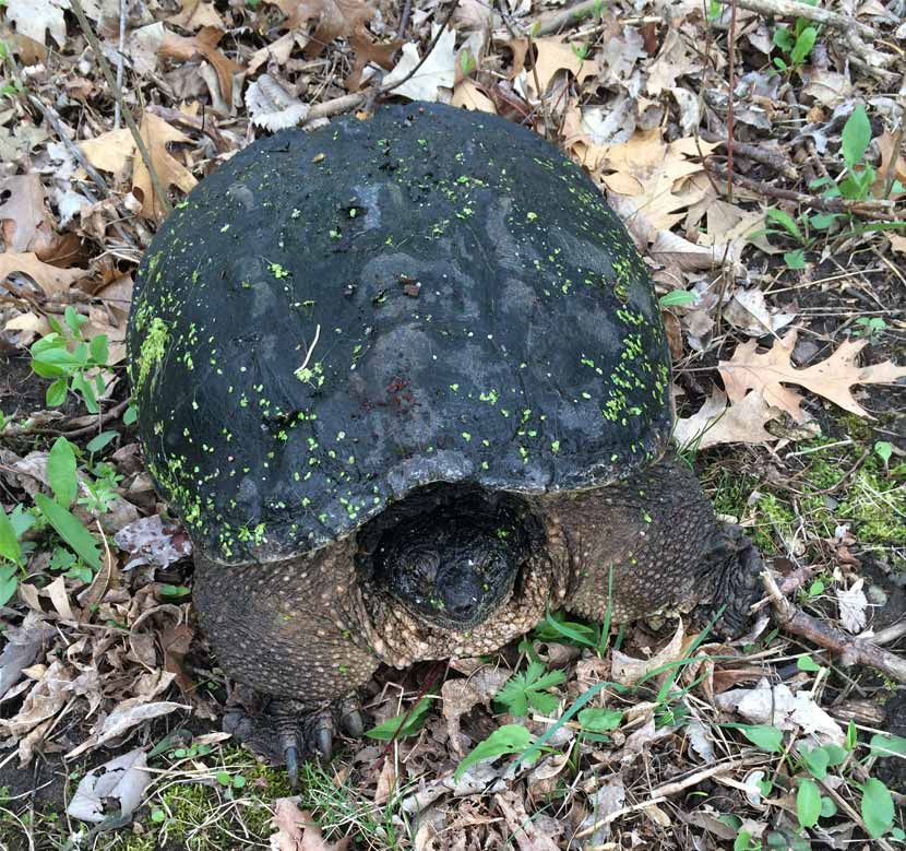 An adult snapping turtle in the grass has bits of algae on it's shell.