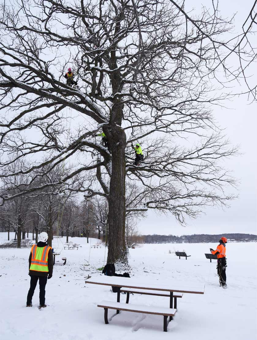 Three tree pruners climb a tree in the winter while others spot them from the ground.