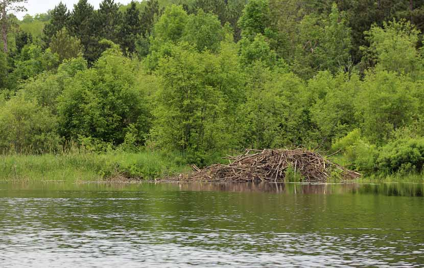 A beaver lodge is nestled on the shore of a lake in the summer.