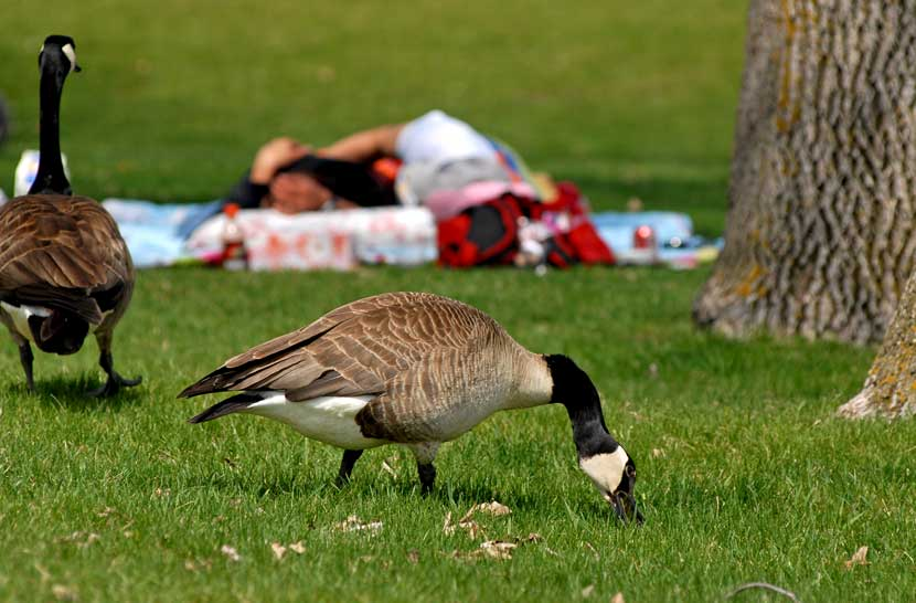 A goose grazes on a lawn. Picnickers can be seen on a blanket behind it.