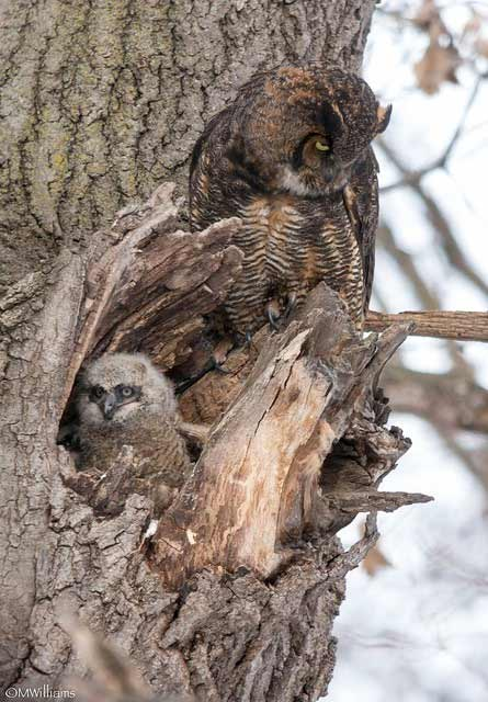 adult and chick great horned owls in a tree trunk
