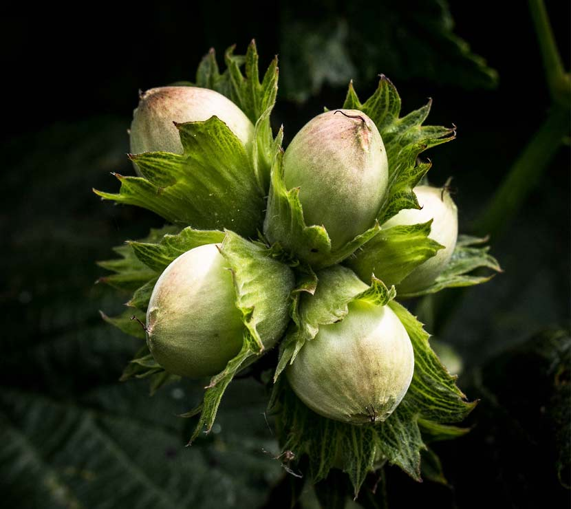 A cluster of hazelnuts growing on the tree.