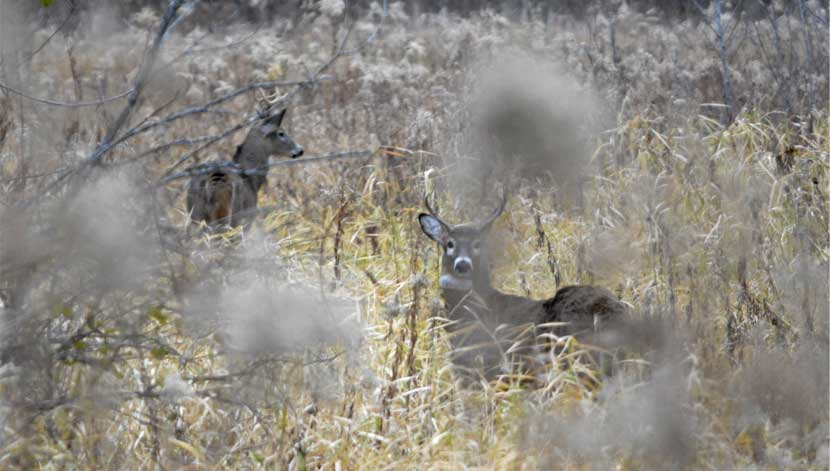 Two deer can be seen through tall grasses.
