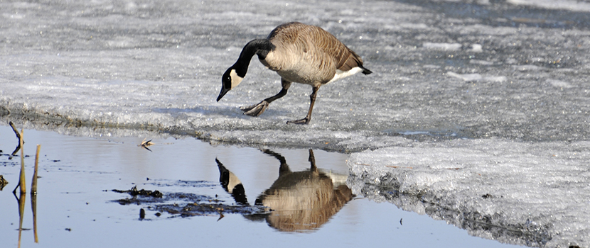 A goose looks at its reflection in a snowy lake